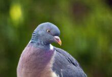 Photo of India, rilasciato il piccione spia